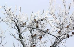 Flock of Sparrows in winter. Flock of Sparrows Sitting on Brush frost in winter stock photos