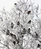 Flock of Sparrows in winter. Flock of Sparrows Sitting on Brush frost in winter stock photo