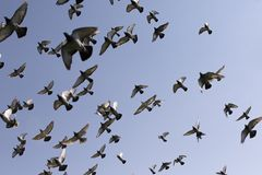 Flock of speed racing pigeon bird flying against clear blue sky stock photos
