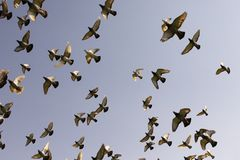 Flock of speed racing pigeon bird flying against clear blue sky stock photo