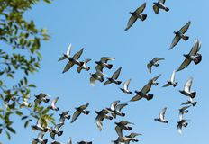 Flock of speed racing pigeon bird flying against clear blue sky royalty free stock image