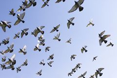 Flock of speed racing pigeon bird flying against clear blue sky royalty free stock photography