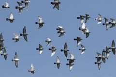Flock of speed racing pigeon flying against clear blue sky royalty free stock photography