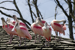 Flock of Spoonbill Birds on Roof. Large group of Roseate Spoonbill or Ajaja ajaja birds on shingled roof royalty free stock image