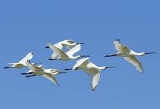 Flock of Spoonbils Stock Image
