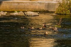 Spot-billed ducks together in river. Flock of  spot-billed ducks swimming together in river on bright sunny morning Royalty Free Stock Photos