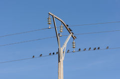 Flock of Spotless Starling Stock Photography