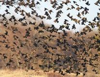 Flock of Spring birds in flight Stock Photos