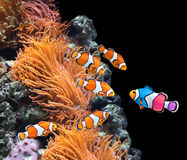 Flock of standard clownfish and one colorful fish Royalty Free Stock Photography