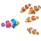 Flock of standard clownfish and one colorful fish Royalty Free Stock Photo