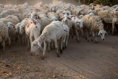 Flock of Staring Sheep stock photo