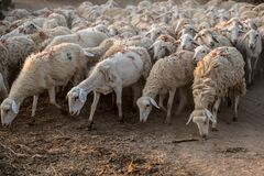 Flock of Staring Sheep stock photos