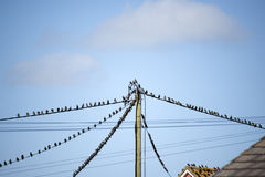 Flock of starling birds on the wires and roofs. Flock of starling birds on the telephone wires and roofs of houses Royalty Free Stock Photography