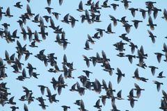 Flock of Starling Royalty Free Stock Images