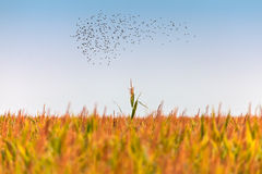 Flock of starlings above a corn field Stock Images