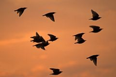 Flock of starlings in the backdrop of the sunset sky Royalty Free Stock Images