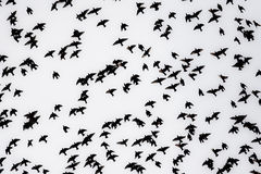 Flock of starlings royalty free stock photos
