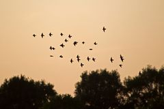 Flock of starlings in the evening glow Royalty Free Stock Images