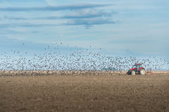 Flock of Starlings fly Royalty Free Stock Photos