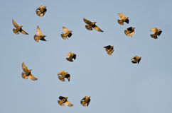 Flock of Starlings Flying in a Blue Sky Stock Photos