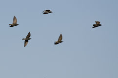 Flock of Starlings Flying in a Blue Sky Stock Images