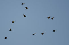 Flock of Starlings Flying in a Blue Sky Stock Photo