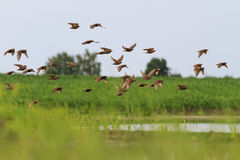 Flock of starlings flying over the lake Royalty Free Stock Image