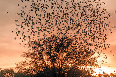 Flock of Starlings Flying over a tree at sunset Stock Image