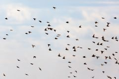 Flock of starlings flying Stock Photography