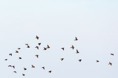 Flock of starlings Royalty Free Stock Images