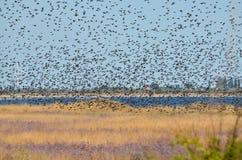 A flock of starlings flying in the sky. Kherson region, Ukraine stock photo