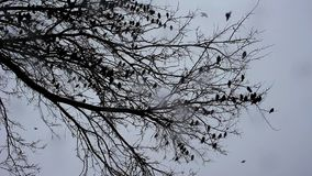 A flock of starlings on a tree stock video