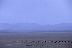 Flock in the steppe Royalty Free Stock Image
