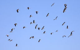 A flock of storks f Royalty Free Stock Photography