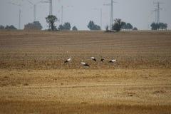 Flock of storks Stock Image