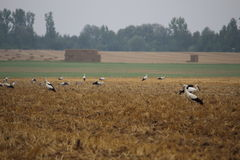 Flock of storks Royalty Free Stock Photos