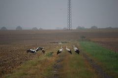 Flock of storks Stock Photo