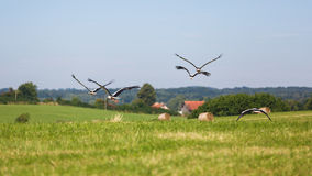 Flock of storks on the field stock images