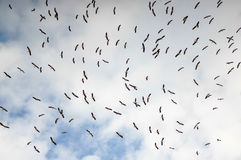 Flock of storks Royalty Free Stock Image