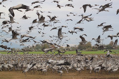 Flock of Storks Stock Photos