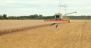 A Flock Of Storks In Search Of Food In The Harvest Field Moves After The Combine Harvester. Harvester Working In The stock video footage