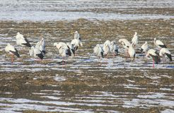 Flock of storks in the snow. A flock of storks in the snow Royalty Free Stock Photography