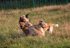 Flock of stray dogs on the grass Stock Image