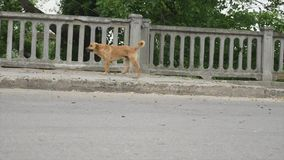 Flock of stray dogs on the street stock footage
