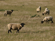 Flock Of Sheep Royalty Free Stock Image