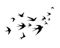 A flock of swallow birds go up. A flock of birds swallows go up. Black silhouette on a white background Royalty Free Stock Photo