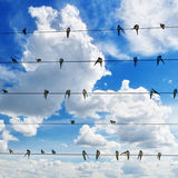Flock of swallows. On blue sky background stock images