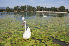 Flock of swans Royalty Free Stock Photography