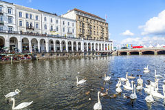 Flock of swans at the Alster in Hamburg Royalty Free Stock Images