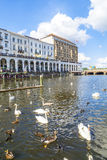Flock of swans at the Alster in Hamburg Stock Photography